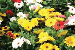 जरबेरा फूलमा लाग्ने रोगकिरा नियन्त्रणका उपायहरु